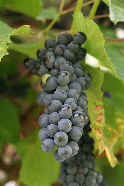 Wine cluster grapevine, nature landscapes.