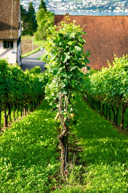 Wine grape vine.