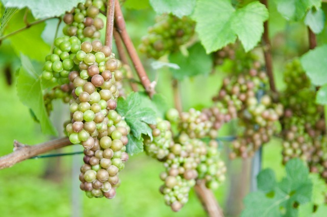 Wine grape vine.