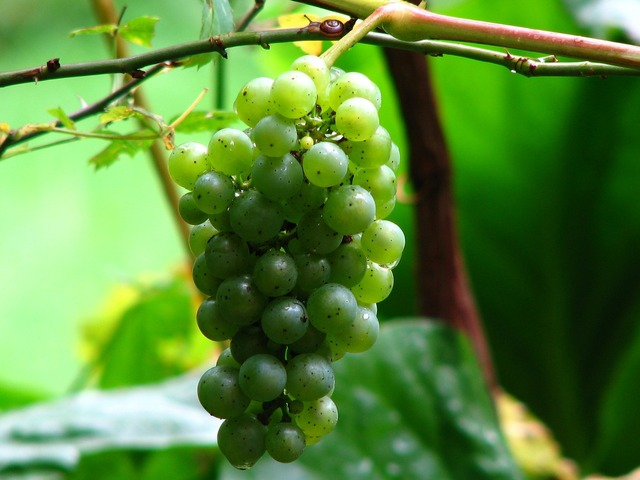 Wine grape vine, food drink.
