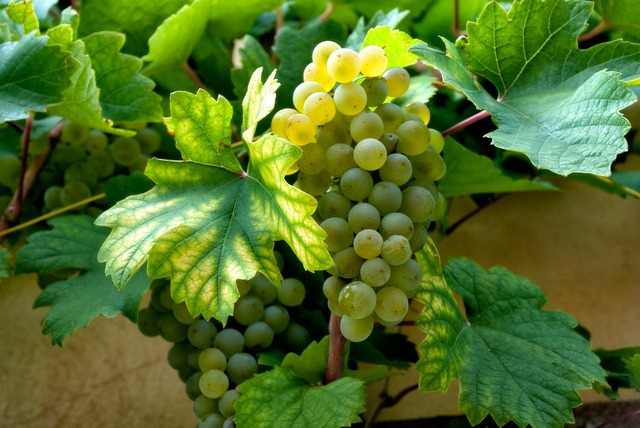 Wine grapes grape.