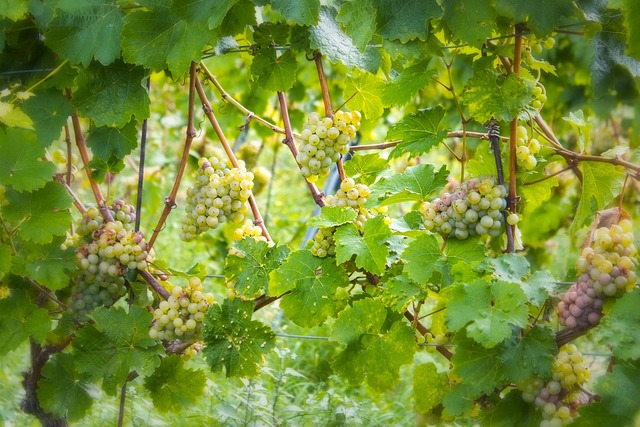 Wine grapes green, nature landscapes.