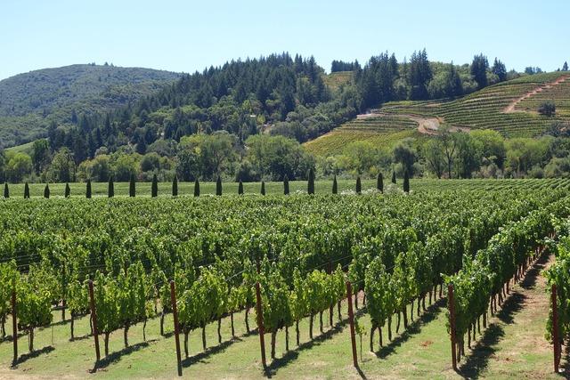 Wine grapes napa.