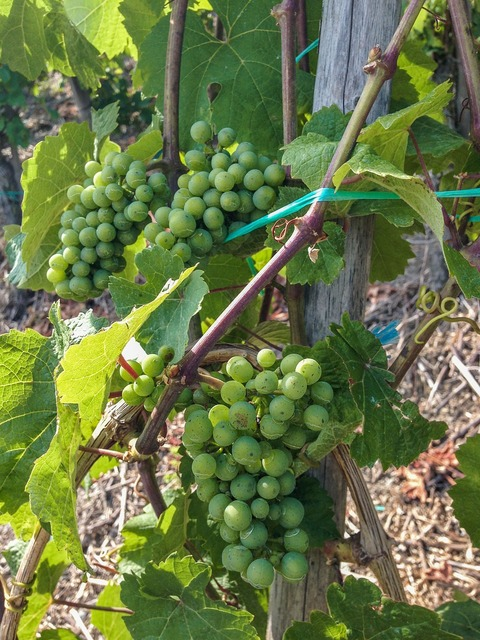 Wine grapes vine, nature landscapes.