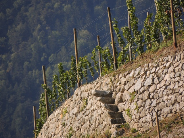 Wine grapevine vine, nature landscapes.