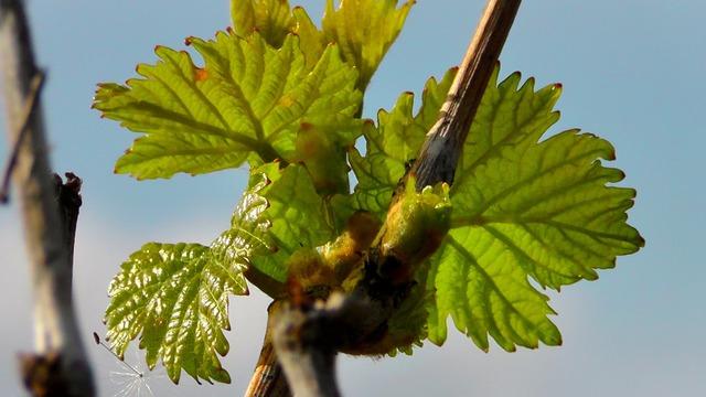 Wine leaf wine vine, nature landscapes.