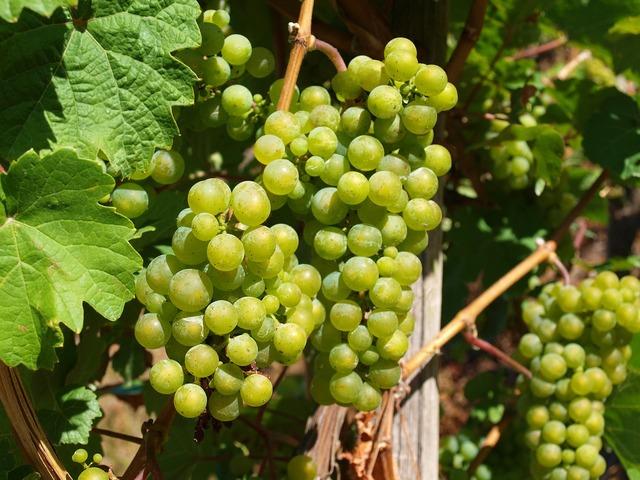 Wine mosel vines.