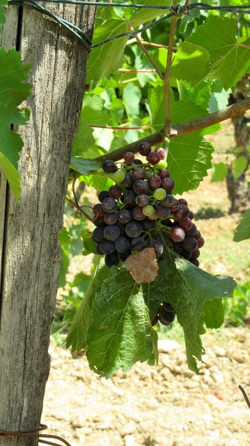 Wine provence grape.