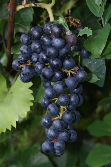 Wine red wine vine.