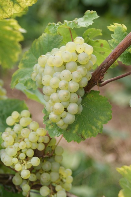 Wine riesling grape.