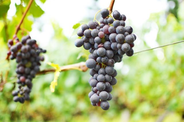 Wine uva vineyard.