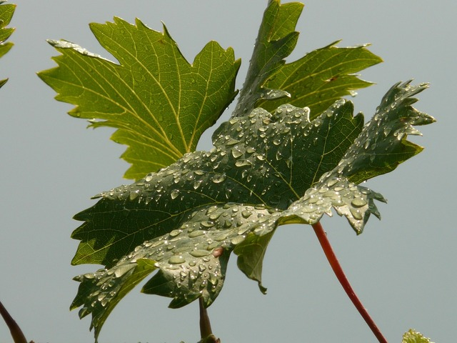 Wine vine leaf.