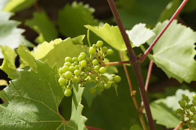 Wine vines grow.