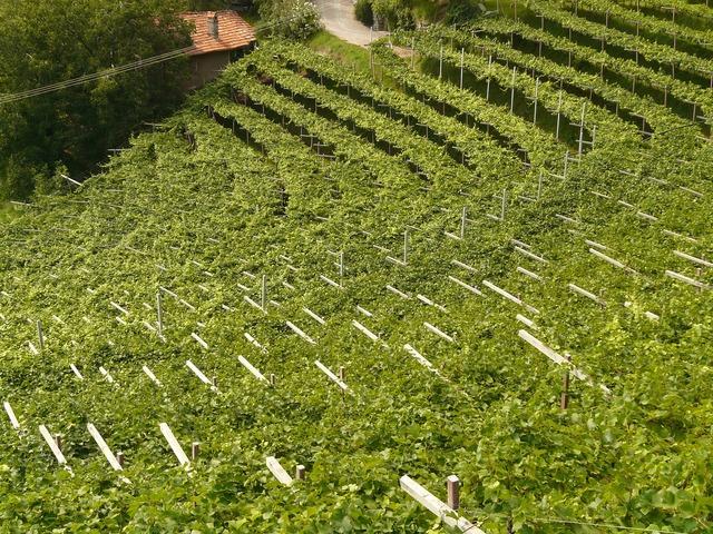Wine vineyard vine, nature landscapes.