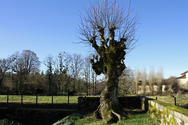 Winter tree leafless tree gnarled tree, nature landscapes.