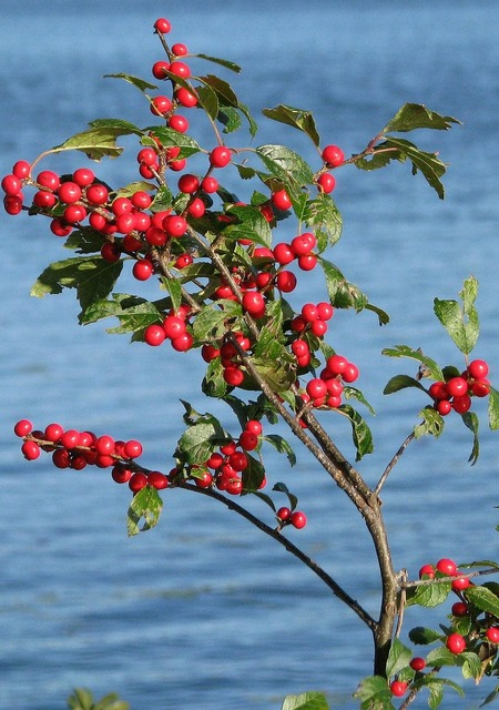 Winterberry ilex verticillata grackle island.