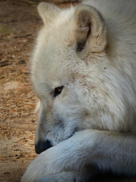 Wolf wild animal predator, animals.