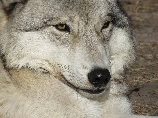 Wolfdog wolf dog, animals.