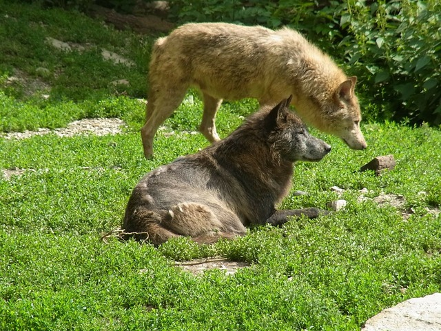 Wolves canis lupus wild animal, animals.