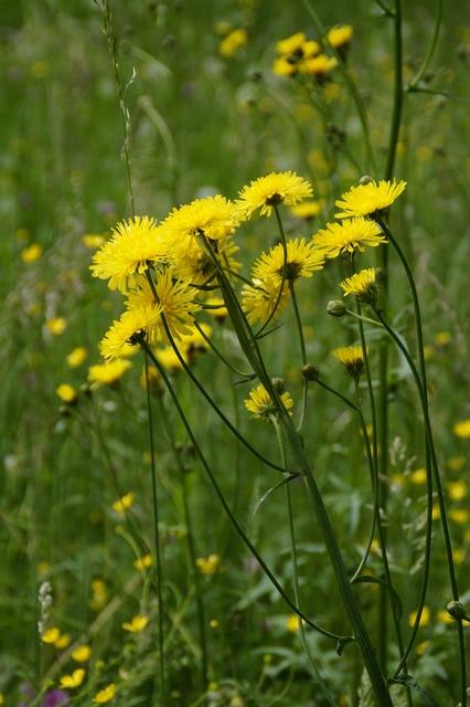 Yellow flowers flower meadow.