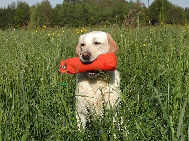 Yellow labrador retriever dog bumper, animals.