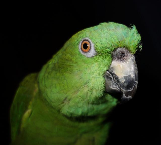 Yellow neck amazone parrot amazone, animals.