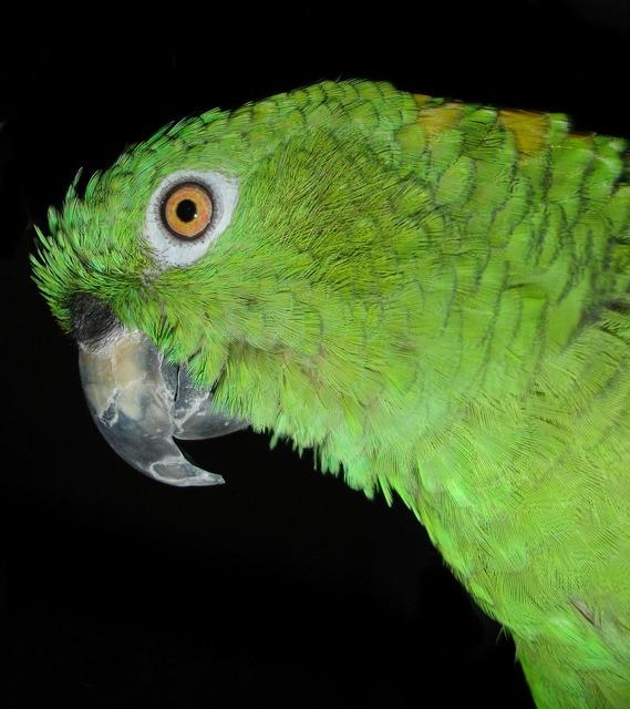 Yellow neck amazone parrot bird, animals.