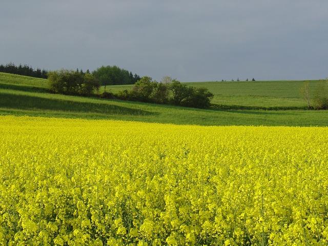 Yellow oilseed rape field.