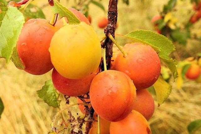 Yellow plums cherry plum fruit, food drink.