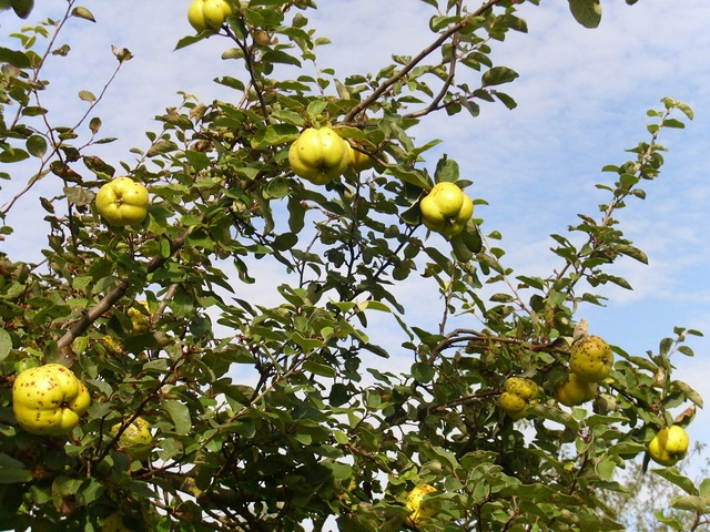 Yellow quince fruit, food drink.