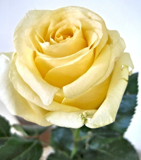 Yellow rose fragrant garden flower canada.