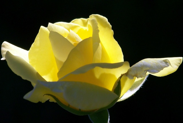 Yellow roses blooms.