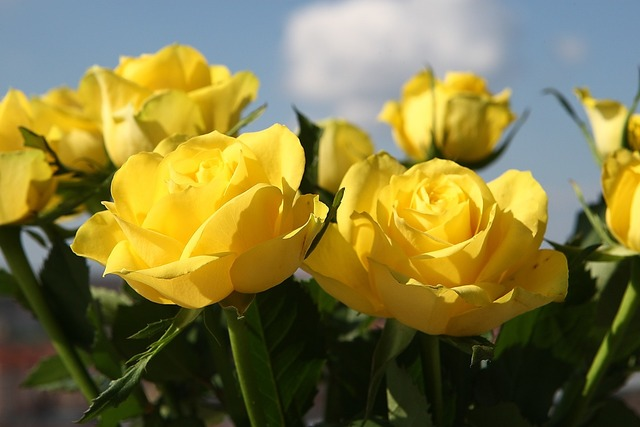 Yellow roses flowers.