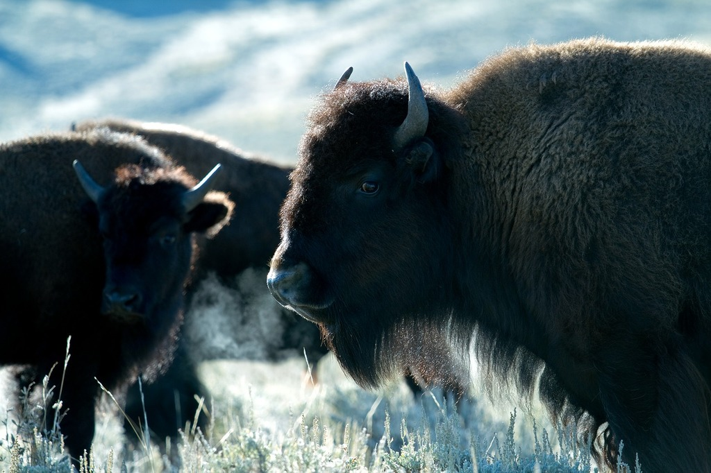 Yellowstone national park wyoming usa.