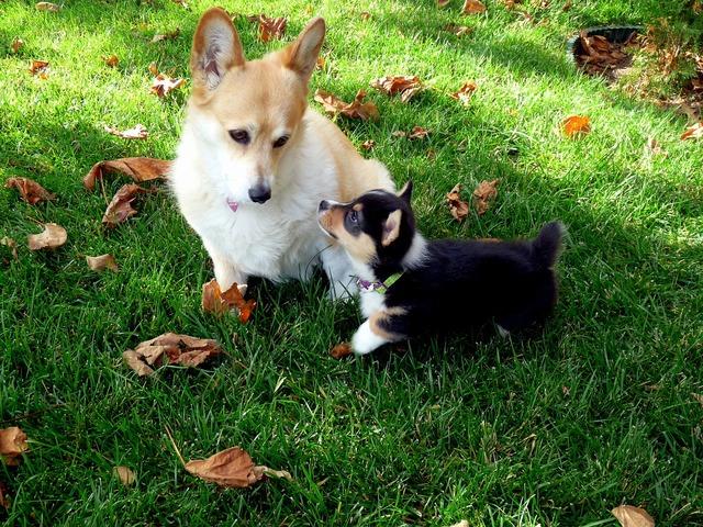 Yorkie terrier dog, animals.