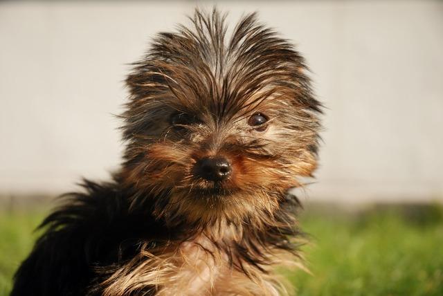Yorkshire terrier dog canine, animals.