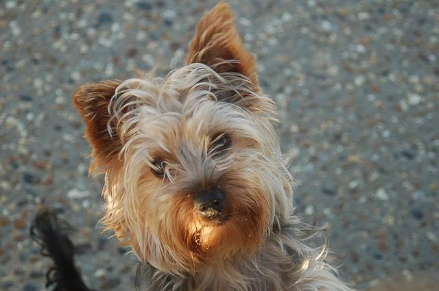 Yorkshire terrier terrier dog, animals.