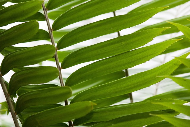 Zamia genus cycad, nature landscapes.