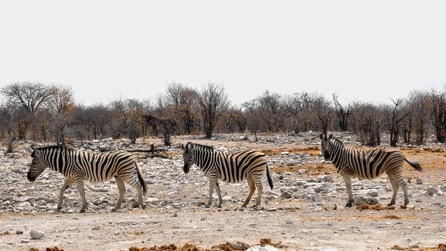 Zebra africa namibia, nature landscapes.