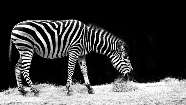 Zebra animal black and white, animals.