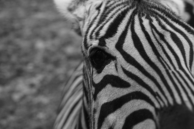 Zebra captivity black and white, emotions.