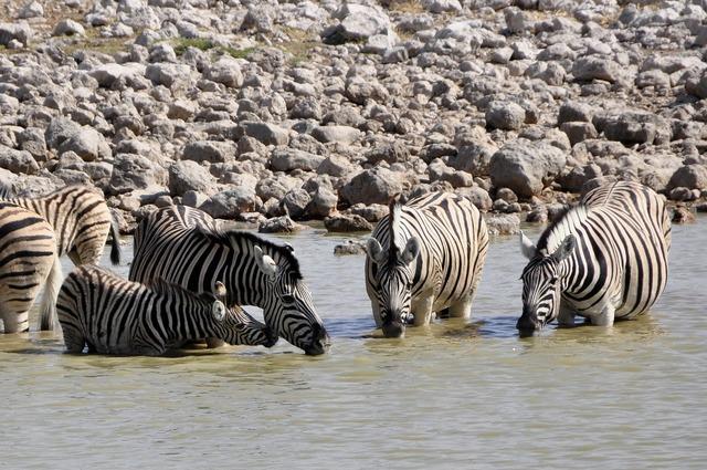 Zebras drink foal, food drink.
