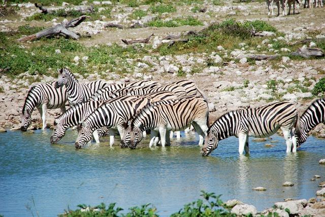 Zebras potions africa.