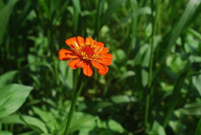 Zinnia flower orange.