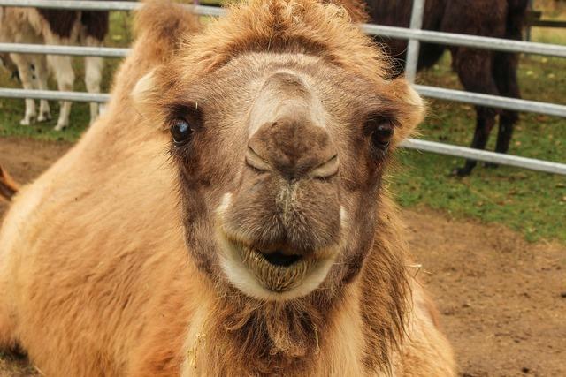 Zoo camel circus, animals.