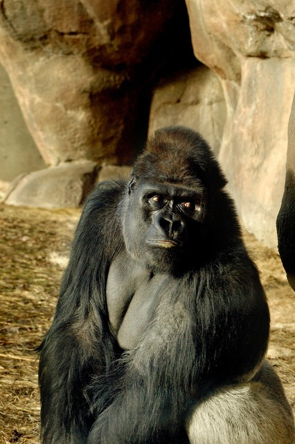 Zoo gorilla ape.