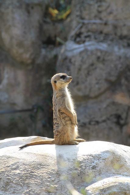 Zoo liberec meerkat.