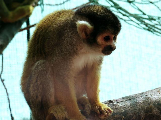 Zoo squirrel monkey animal, animals.