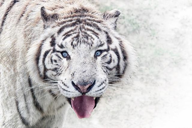 Zoo tiger animal, animals.